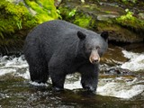Black Bear Waiting For Dinner