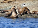 Sea Lion Politics
