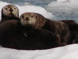 Sea Otters - Very Common